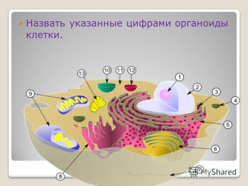 Закрепление Назвать указанные цифрами органоиды клетки.