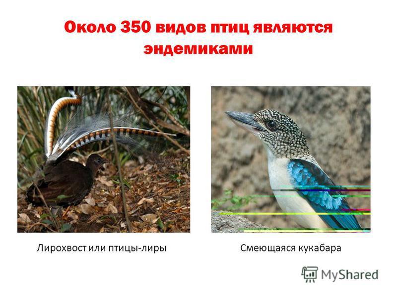 Около 350 видов птиц являются эндемиками Лирохвост или птицы-лиры Смеющаяся кукабара