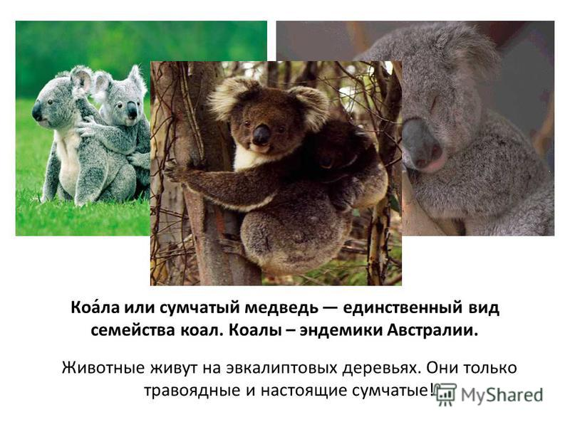 Коа́ла или сумчатый медведь единственный вид семейства коал. Коалы – эндемики Австралии. Животные живут на эвкалиптовых деревьях. Они только травоядные и настоящие сумчатые!
