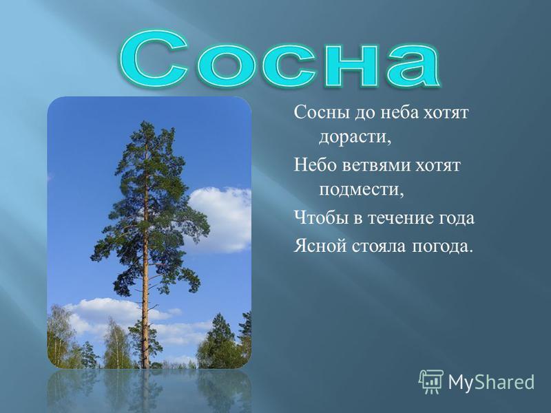 Сосны до неба хотят дорасти, Небо ветвями хотят подмести, Чтобы в течение года Ясной стояла погода.
