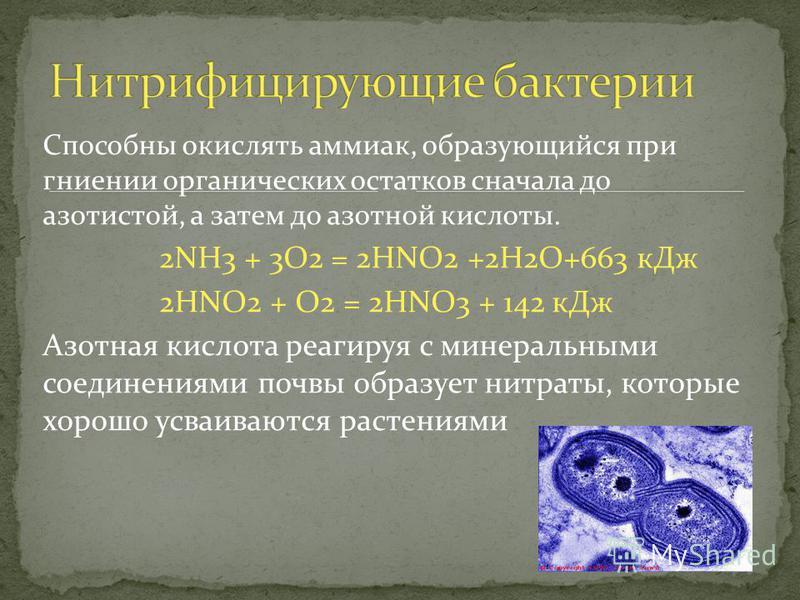 Способны окислять аммиак, образующийся при гниении органических остатков сначала до азотистой, а затем до азотной кислоты. 2NH3 + 3O2 = 2HNO2 +2H2O+663 к Дж 2HNO2 + O2 = 2HNO3 + 142 к Дж Азотная кислота реагируя с минеральными соединениями почвы обра