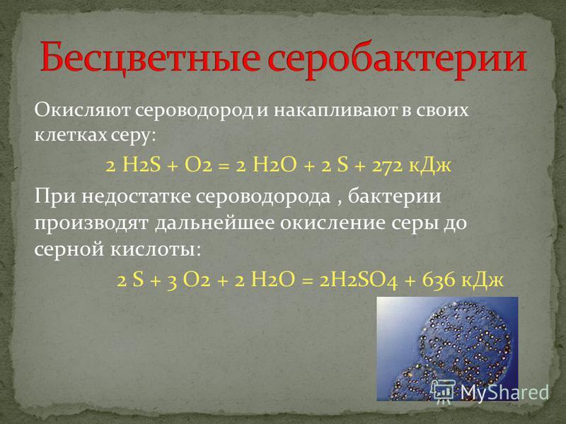 Окисляют сероводород и накапливают в своих клетках серу: 2 H2S + O2 = 2 H2O + 2 S + 272 к Дж При недостатке сероводорода, бактерии производят дальнейшее окисление серы до серной кислоты: 2 S + 3 O2 + 2 H2O = 2H2SO4 + 636 к Дж