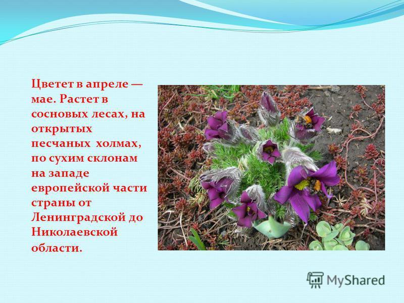 Цветет в апреле мае. Растет в сосновых лесах, на открытых песчаных холмах, по сухим склонам на западе европейской части страны от Ленинградской до Николаевской области.