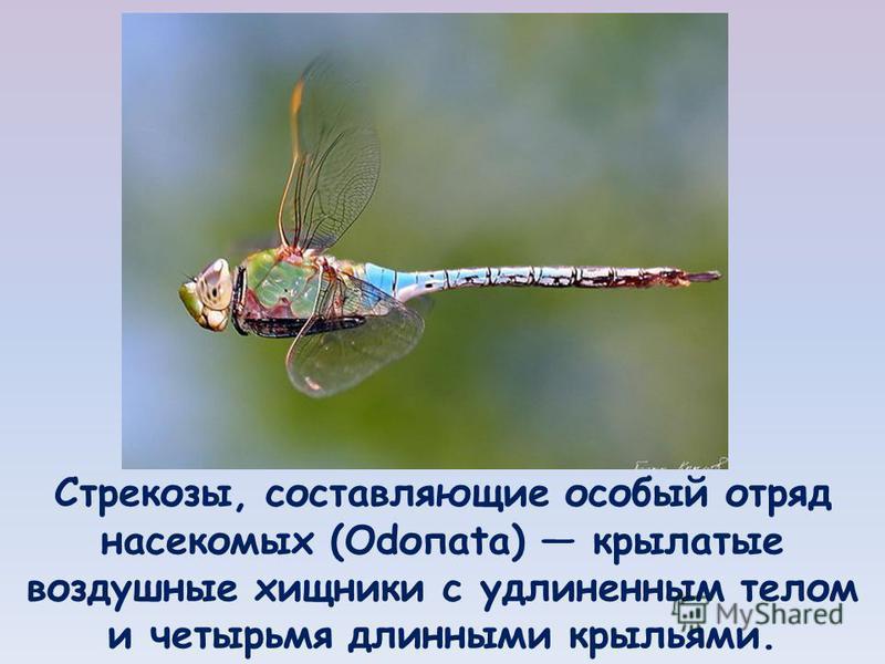Стрекозы, составляющие особый отряд насекомых (Odопаtа) крылатые воздушные хищники с удлиненным телом и четырьмя длинными крыльями.