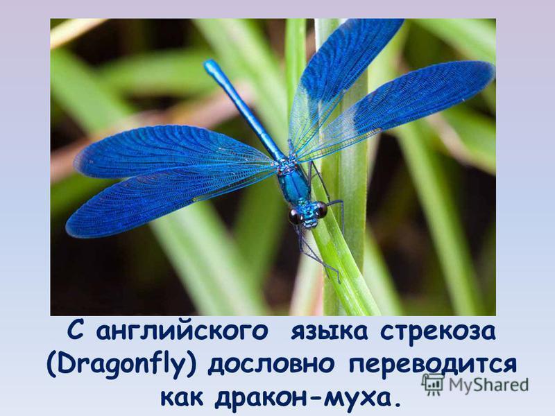 С английского языка стрекоза (Dragonfly) дословно переводится как дракон-муха.