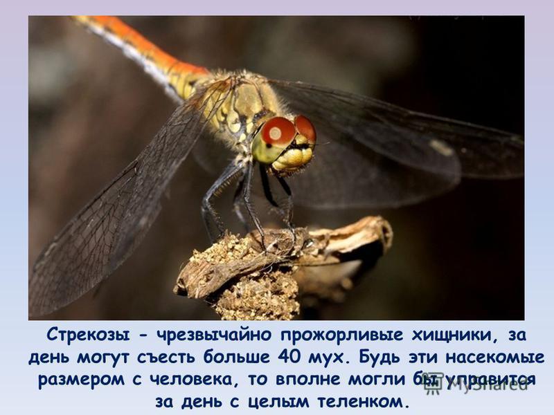 Стрекозы - чрезвычайно прожорливые хищники, за день могут съесть больше 40 мух. Будь эти насекомые размером с человека, то вполне могли бы управится за день с целым теленком.