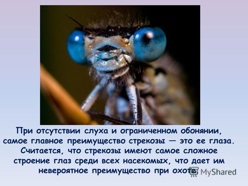 При отсутствии слуха и ограниченном обонянии, самое главное преимущество стрекозы это ее глаза. Считается, что стрекозы имеют самое сложное строение глаз среди всех насекомых, что дает им невероятное преимущество при охоте.