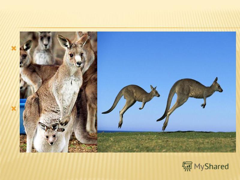Сумка есть только у кенгурих, у самцов ее нету. Всем известно, что кенгуру отличаются своей прыгучестью. При комфортном передвижении со скоростью 20 км в час кенгуру делают прыжки по 2-3 метра каждый. Едят кенгуру в основном траву. В жаркое время дня