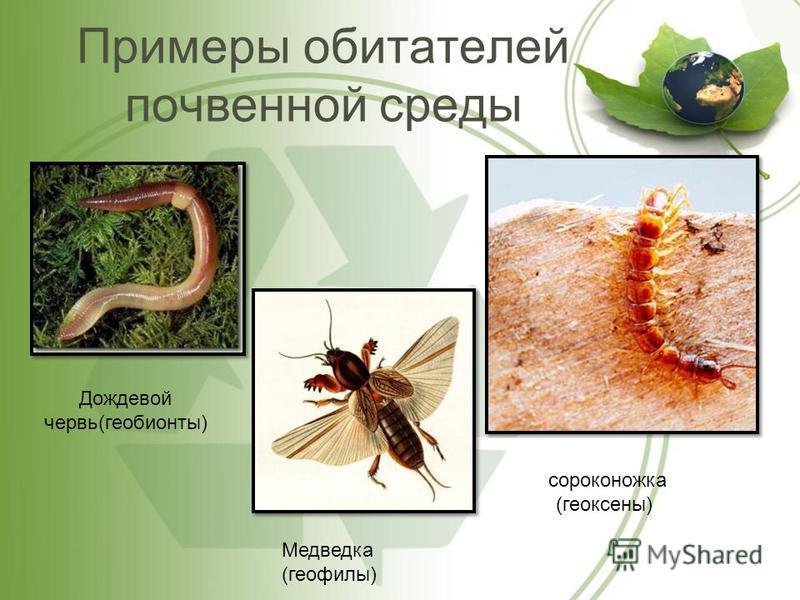 Примеры обитателей почвенной среды Дождевой червь(геобионты) Медведка (геофилы) сороконожка (геоксены)