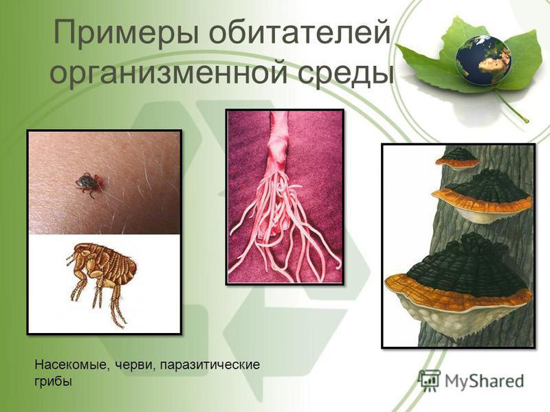 Примеры обитателей организменной среды Насекомые, черви, паразитические грибы