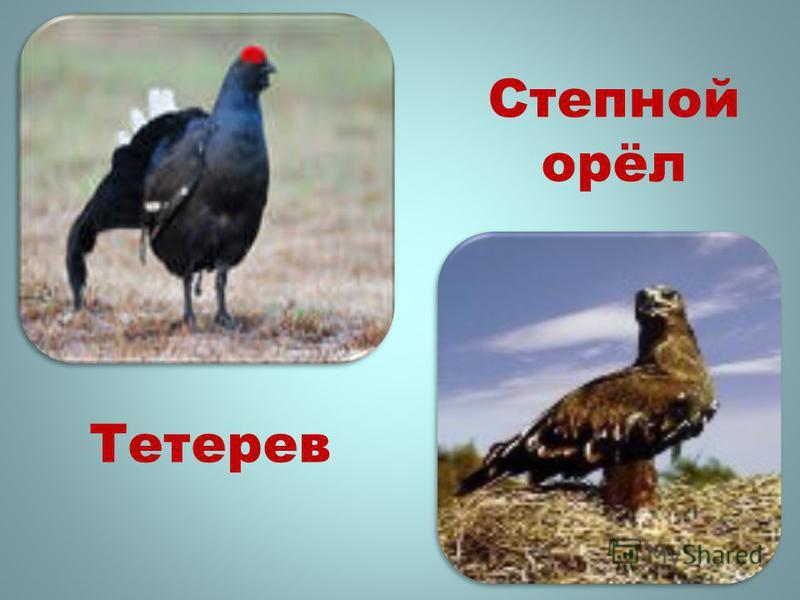 Степной орёл Тетерев
