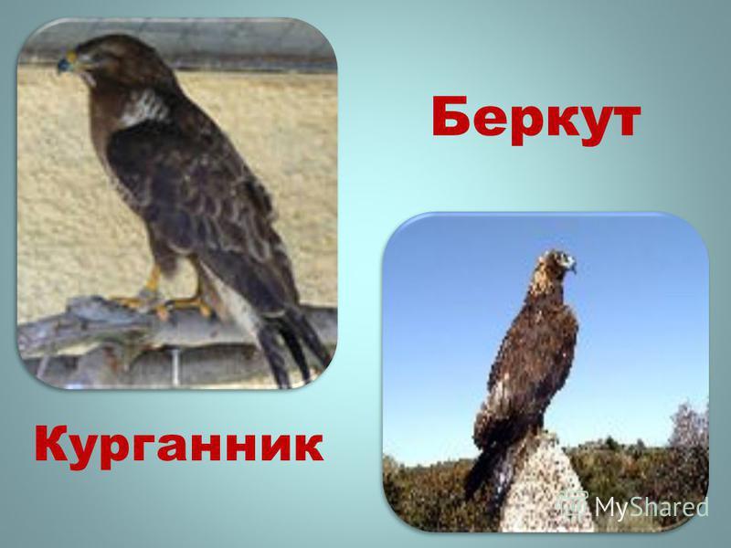 Беркут Курганник