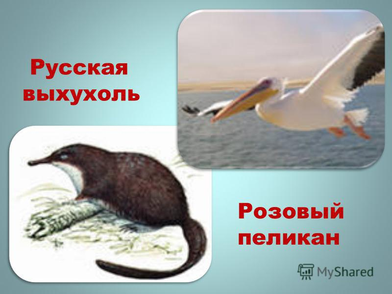 Розовый пеликан Русская выхухоль