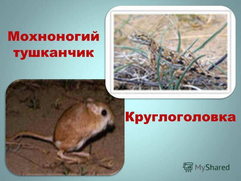 Мохноногий тушканчик Круглоголовка