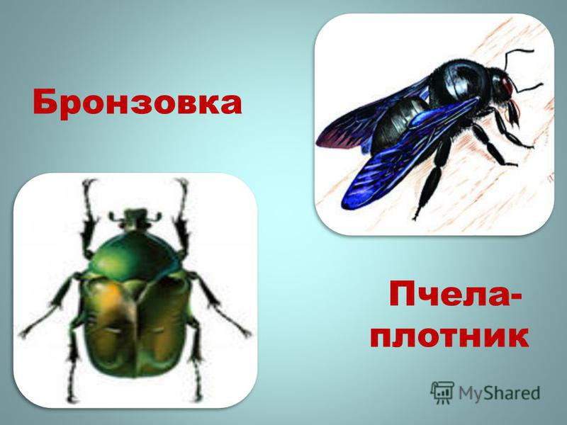 Бронзовка Пчела- плотник