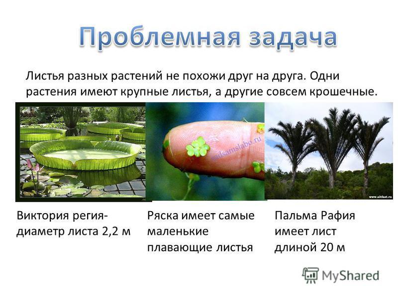 Листья разных растений не похожи друг на друга. Одни растения имеют крупные листья, а другие совсем крошечные. Виктория регия- диаметр листа 2,2 м Ряска имеет самые маленькие плавающие листья Пальма Рафия имеет лист длиной 20 м
