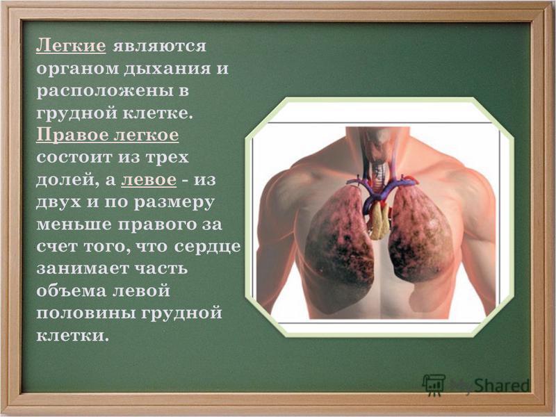 Легкие являются органом дыхания и расположены в грудной клетке. Правое легкое состоит из трех долей, а левое - из двух и по размеру меньше правого за счет того, что сердце занимает часть объема левой половины грудной клетки.