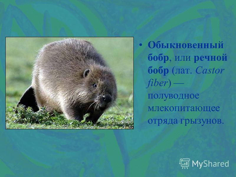 Обыкновенный бобр, или речной бобр (лат. Castor fiber) полуводное млекопитающее отряда грызунов.