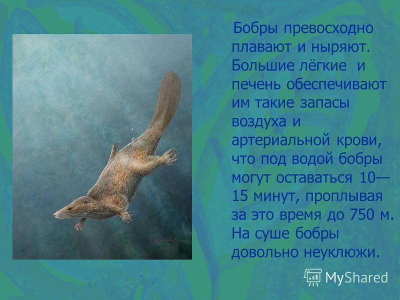 Бобры превосходно плавают и ныряют. Большие лёгкие и печень обеспечивают им такие запасы воздуха и артериальной крови, что под водой бобры могут оставаться 10 15 минут, проплывая за это время до 750 м. На суше бобры довольно неуклюжи.