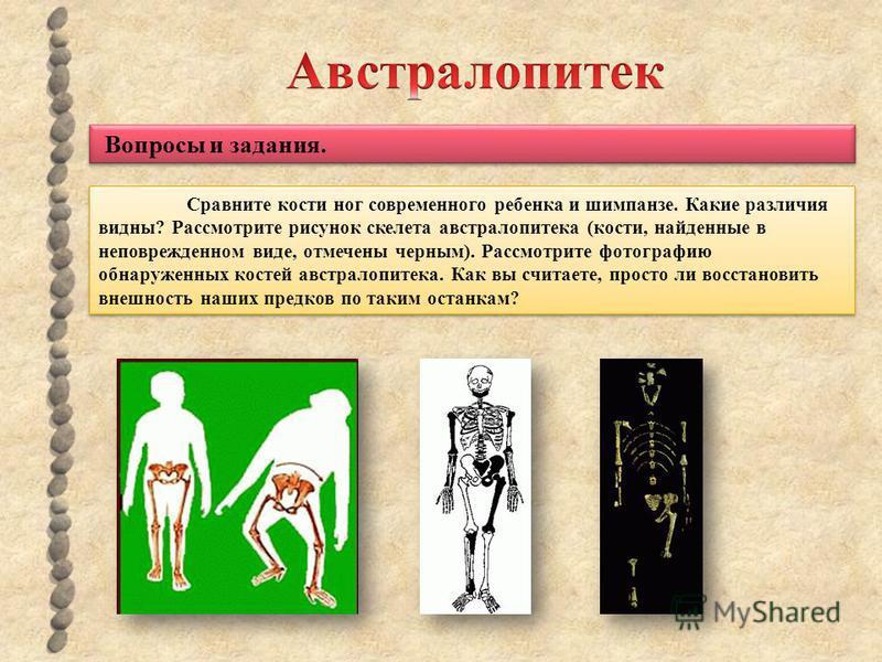 Сравните кости ног современного ребенка и шимпанзе. Какие различия видны? Рассмотрите рисунок скелета австралопитека (кости, найденные в неповрежденном виде, отмечены черным). Рассмотрите фотографию обнаруженных костей австралопитека. Как вы считаете