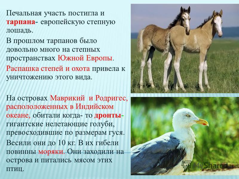 Печальная участь постигла и тарпана- европейскую степную лошадь. В прошлом тарпанов было довольно много на степных пространствах Южной Европы. Распашка степей и охота привела к уничтожению этого вида. На островах Маврикий и Родригес, расположенных в