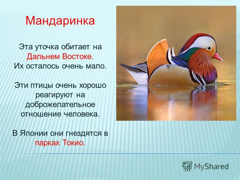 Мандаринка птица почему так называется