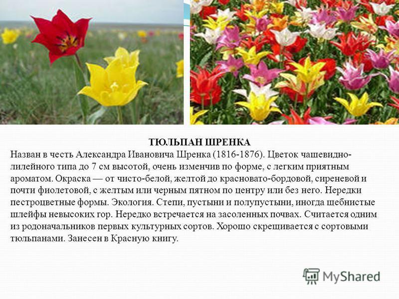 ТЮЛЬПАН ШРЕНКА Назван в честь Александра Ивановича Шренка (1816-1876). Цветок чашевидно- лилейного типа до 7 см высотой, очень изменчив по форме, с легким приятным ароматом. Окраска от чисто-белой, желтой до красновато-бордовой, сиреневой и почти фио