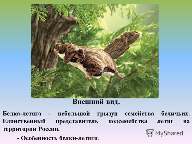 Внешний вид. Белка-летяга - небольшой грызун семейства беличьих. Единственный представитель подсемейства летяг на территории России. - Особенность белки-летяги.