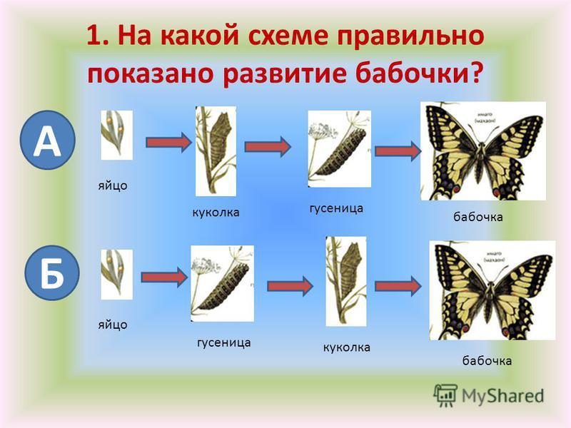 1. На какой схеме правильно показано развитие бабочки? А Б яйцо куколка гусеница бабочка яйцо гусеница куколка бабочка