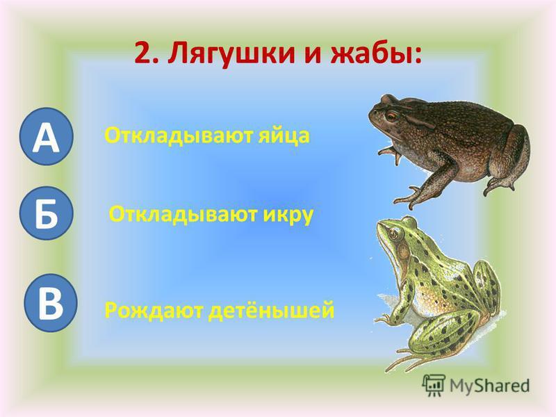2. Лягушки и жабы: А Б Откладывают яйца Откладывают икру В Рождают детёнышей