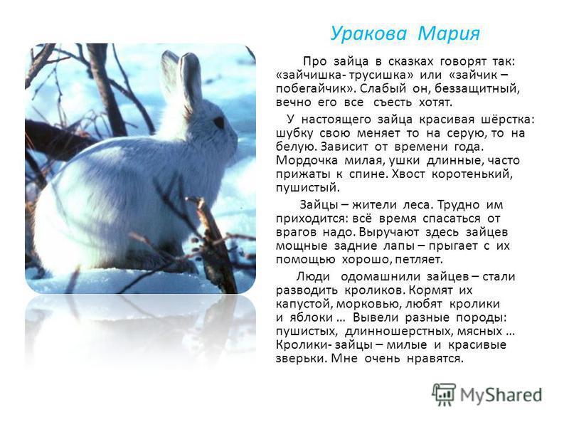Уракова Мария Про зайца в сказках говорят так: «зайчишка- трусишка» или «зайчик – побегайчик». Слабый он, беззащитный, вечно его все съесть хотят. У настоящего зайца красивая шёрстка: шубку свою меняет то на серую, то на белую. Зависит от времени год
