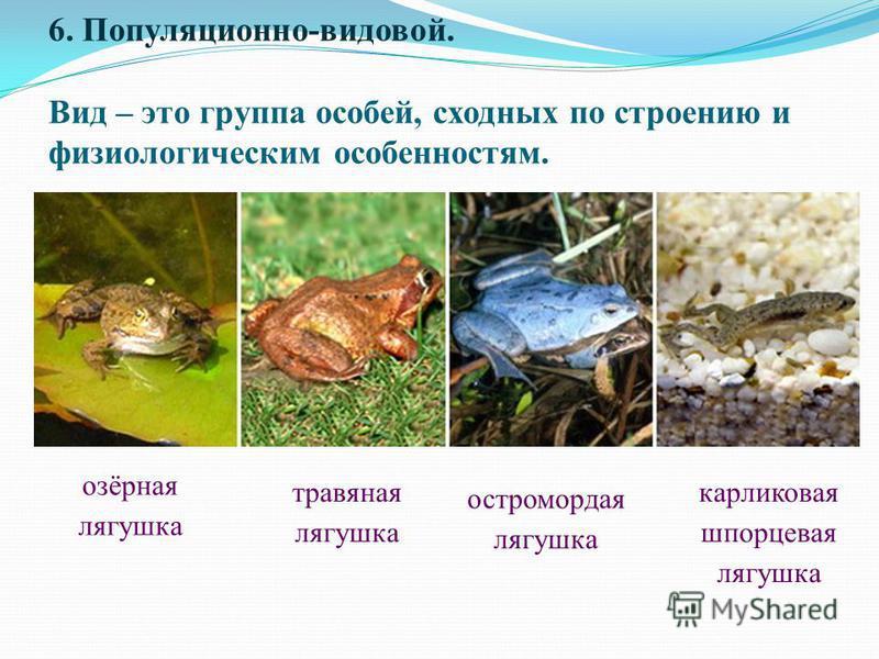 6. Популяционно-видовой. Вид – это группа особей, сходных по строению и физиологическим особенностям. карликовая шпорцевая лягушка остромордая лягушка травяная лягушка озёрная лягушка