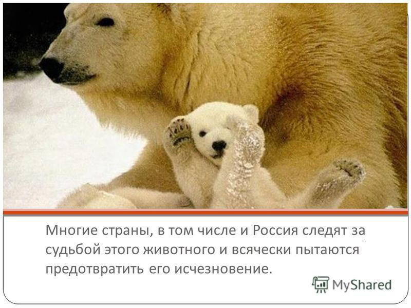 Многие страны, в том числе и Россия следят за судьбой этого животного и всячески пытаются предотвратить его исчезновение. ь