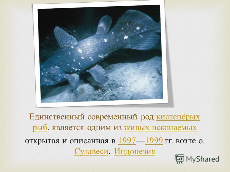 Единственный современный род кистепёрых рыб, является одним из живых ископаемых кистепёрых рыб живых ископаемых открытая и описанная в 19971999 гг. возле о. Сулавеси, Индонезия 19971999 Сулавеси Индонезия
