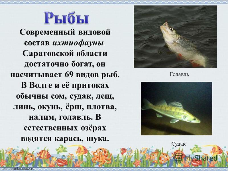 Современный видовой состав ихтиофауны Саратовской области достаточно богат, он насчитывает 69 видов рыб. В Волге и её притоках обычны сом, судак, лещ, линь, окунь, ёрш, плотва, налим, голавль. В естественных озёрах водятся карась, щука. Голавль Судак