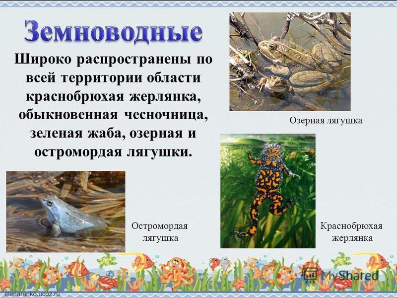 Широко распространены по всей территории области краснобрюхая жерлянка, обыкновенная чесночница, зеленая жаба, озерная и остромордая лягушки. Озерная лягушка Остромордая лягушка Краснобрюхая жерлянка