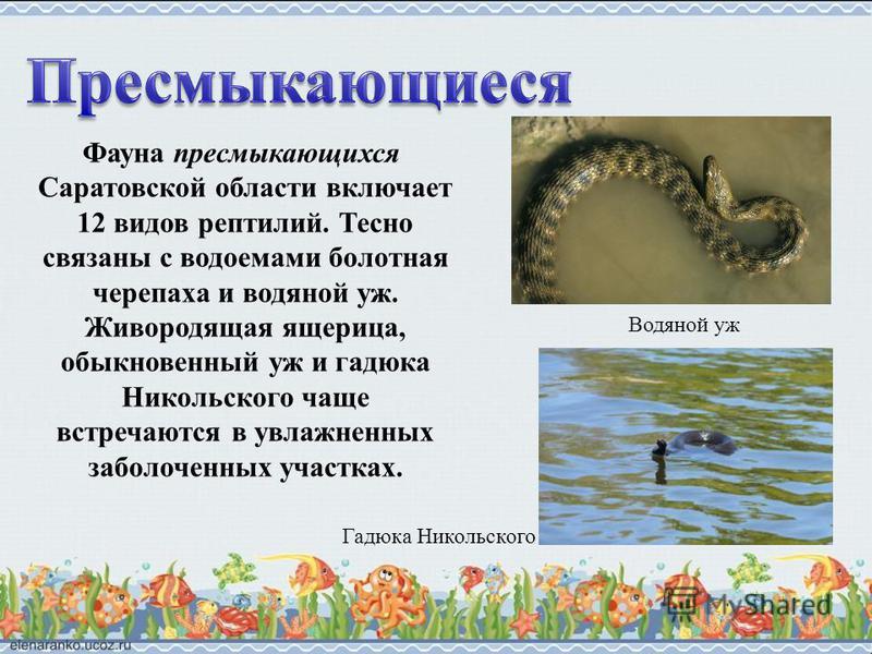 Фауна пресмыкающихся Саратовской области включает 12 видов рептилий. Тесно связаны с водоемами болотная черепаха и водяной уж. Живородящая ящерица, обыкновенный уж и гадюка Никольского чаще встречаются в увлажненных заболоченных участках. Водяной уж