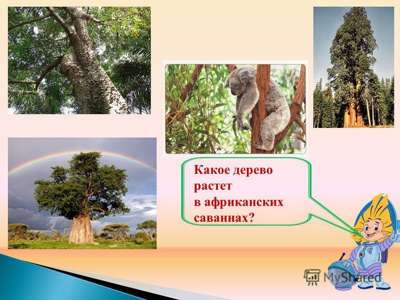 Какое дерево растет в африканских саваннах?