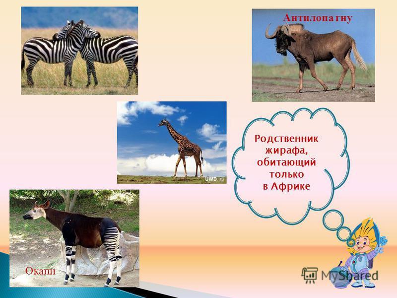 Родственник жирафа, обитающий только в Африке Антилопа гну Окапи