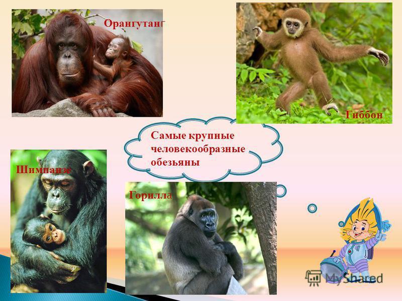 Самые крупные человекообразные обезьяны Гиббон Орангутан г Горилл а Шимпанзе