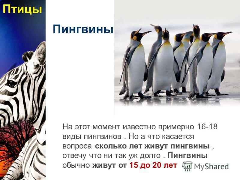 Пингвины На этот момент известно примерно 16-18 виды пингвинов. Но а что касается вопроса сколько лет живут пингвины, отвечу что ни так уж долго. Пингвины обычно живут от 15 до 20 лет Птицы