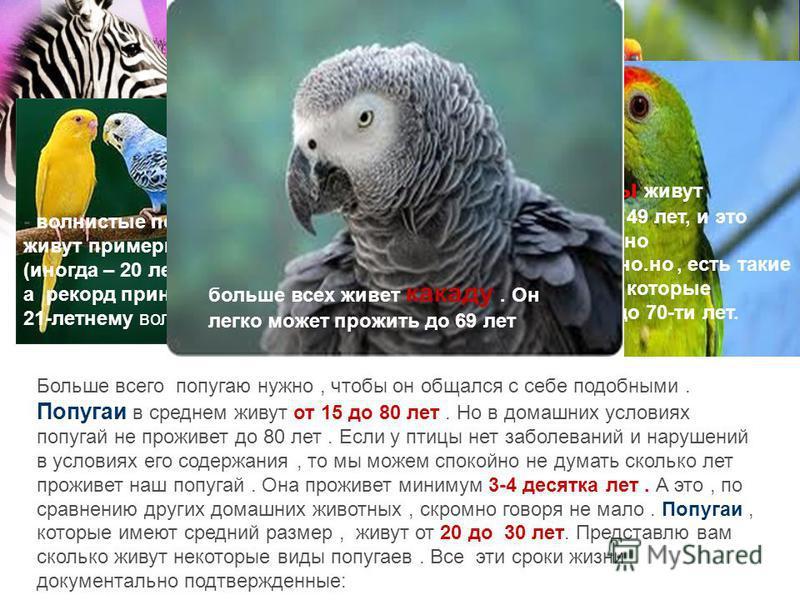 Попугаи Больше всего попугаю нужно, чтобы он общался с себе подобными. Попугаи в среднем живут от 15 до 80 лет. Но в домашних условиях попугай не проживет до 80 лет. Если у птицы нет заболеваний и нарушений в условиях его содержания, то мы можем спок