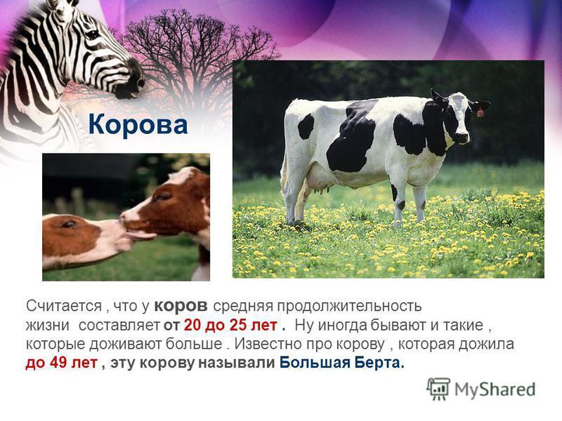 Корова Считается, что у коров средняя продолжительность жизни составляет от 20 до 25 лет. Ну иногда бывают и такие, которые доживают больше. Известно про корову, которая дожила до 49 лет, эту корову называли Большая Берта.
