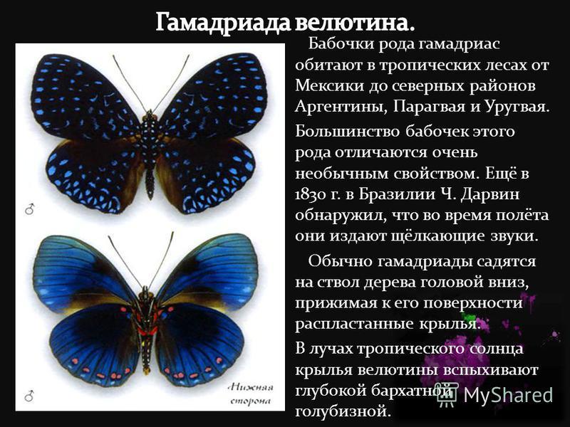 Бабочки рода гамадриас обитают в тропических лесах от Мексики до северных районов Аргентины, Парагвая и Уругвая. Большинство бабочек этого рода отличаются очень необычным свойством. Ещё в 1830 г. в Бразилии Ч. Дарвин обнаружил, что во время полёта он