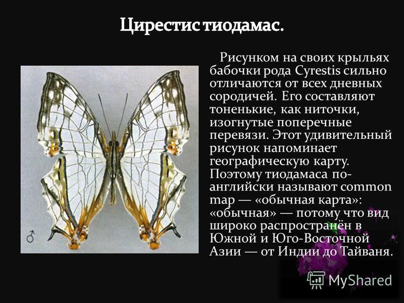 Рисунком на своих крыльях бабочки рода Cyrestis сильно отличаются от всех дневных сородичей. Его составляют тоненькие, как ниточки, изогнутые поперечные перевязи. Этот удивительный рисунок напоминает географическую карту. Поэтому тиодамаса по- англий