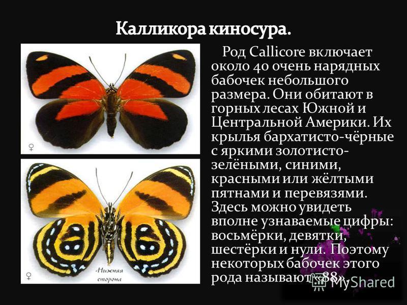 Род Callicore включает около 40 очень нарядных бабочек небольшого размера. Они обитают в горных лесах Южной и Центральной Америки. Их крылья бархатисто-чёрные с яркими золотисто- зелёными, синими, красными или жёлтыми пятнами и перевязями. Здесь можн