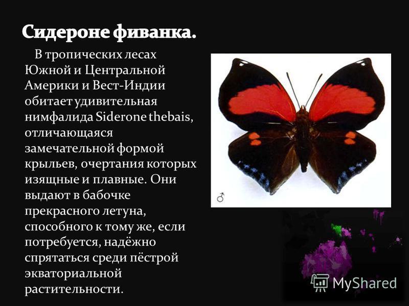 В тропических лесах Южной и Центральной Америки и Вест-Индии обитает удивительная нимфалида Siderone thebais, отличающаяся замечательной формой крыльев, очертания которых изящные и плавные. Они выдают в бабочке прекрасного летуна, способного к тому ж