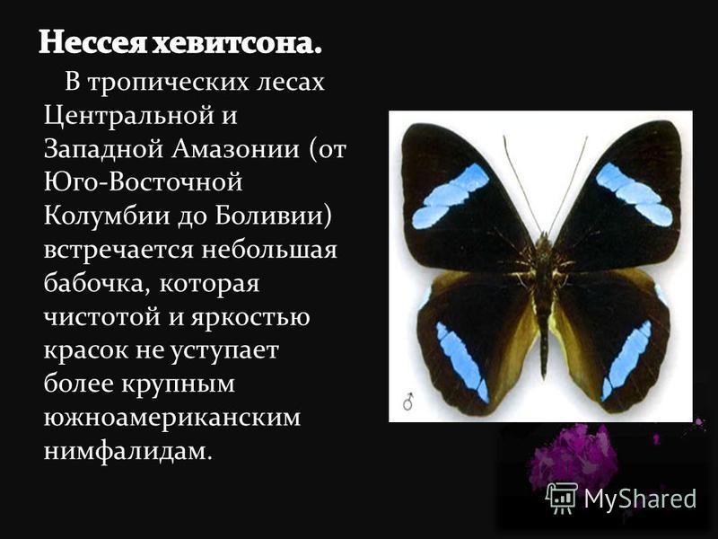 В тропических лесах Центральной и Западной Амазонии (от Юго-Восточной Колумбии до Боливии) встречается небольшая бабочка, которая чистотой и яркостью красок не уступает более крупным южноамериканским нимфалидам.