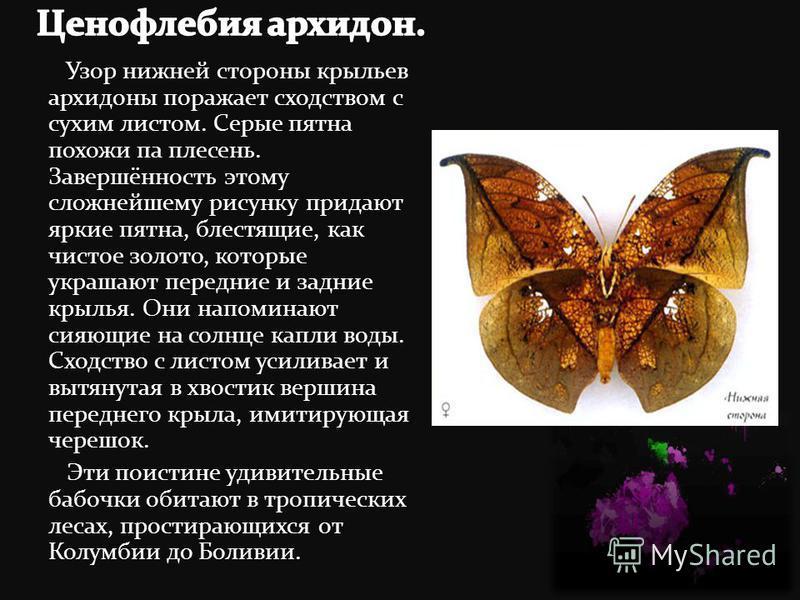 Узор нижней стороны крыльев архидоны поражает сходством с сухим листом. Серые пятна похожи па плесень. Завершённость этому сложнейшему рисунку придают яркие пятна, блестящие, как чистое золото, которые украшают передние и задние крылья. Они напоминаю