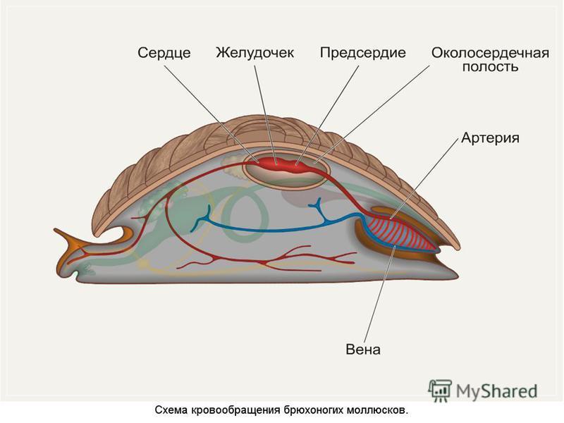 Канспект класс брюхоногие молюски